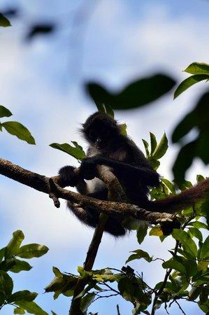 Punta Laguna Nature Reserve: Junger Spinnenaffe