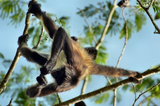 Punta Laguna Nature Reserve: Einer von drei Affen-Brüdern