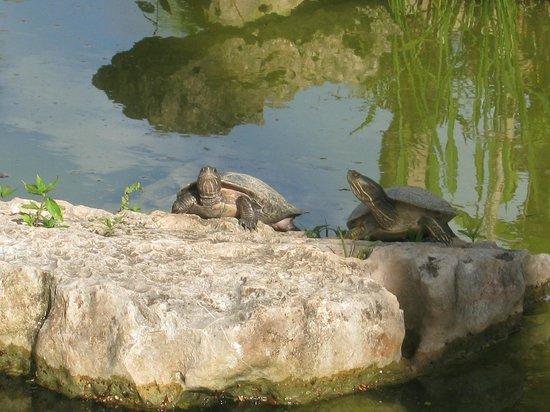 Iberostar Daiquiri: Turtles around resort in pond