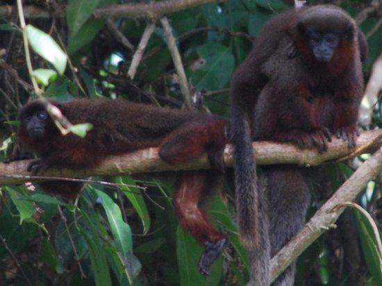 Muyuna Amazon Lodge : Dusky titi monkeys