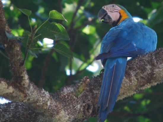 Muyuna Amazon Lodge : Blue and Yellow Macaw