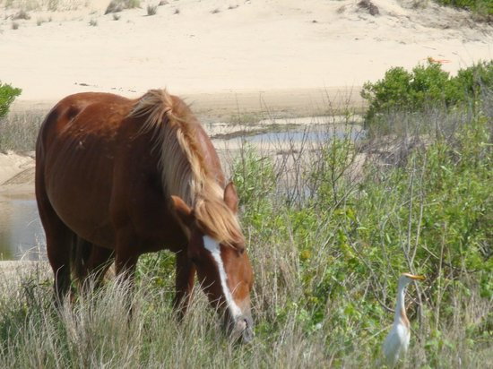 Bobs Wild Horse Tours: Wild horse and cattle egret