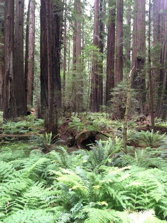 Avenue of the Giants : Valley of ferns