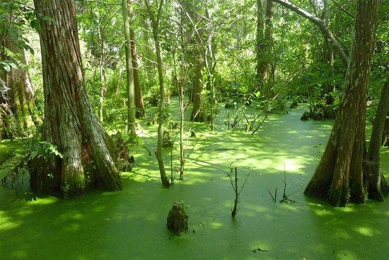Busch Wildlife Sanctuary : Cypress swamp