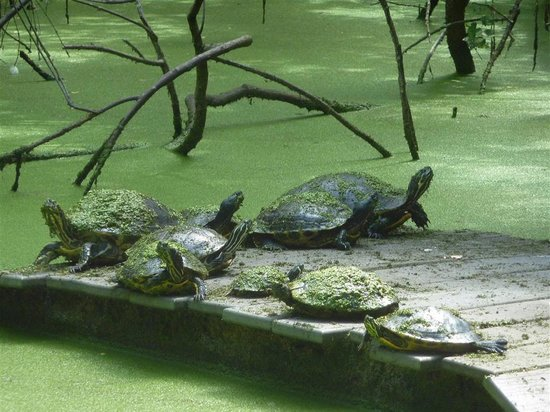 Busch Wildlife Sanctuary : Turtles on a raft