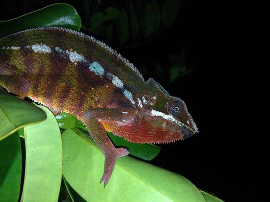 Maroantsetra, Madagascar: Panther chameleon (furcifer pardalis)