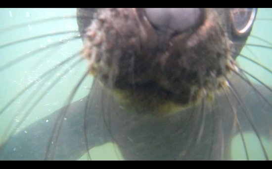 Eco Marine Kayak Tours: Cape Fur Seal - Kayaking May 2014