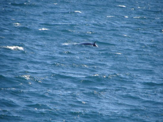 Whale Watching Reykjavik - Special Tours: Minke whale