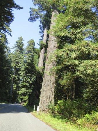 Redwood National Park: 巨木の森を通る車道