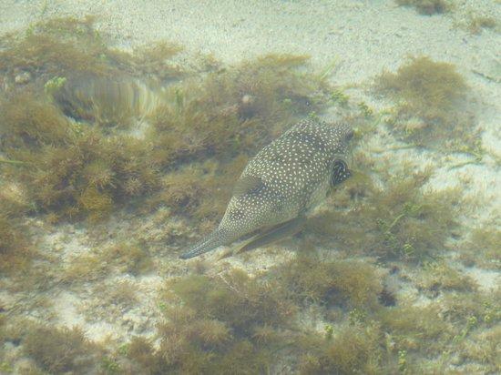 Club Magic Life Sharm el Sheikh Imperial: Puffa fish seen from the jet tie