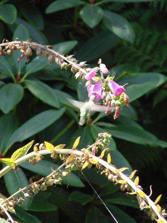 Mendocino Coast Botanical Gardens: ハチドリ