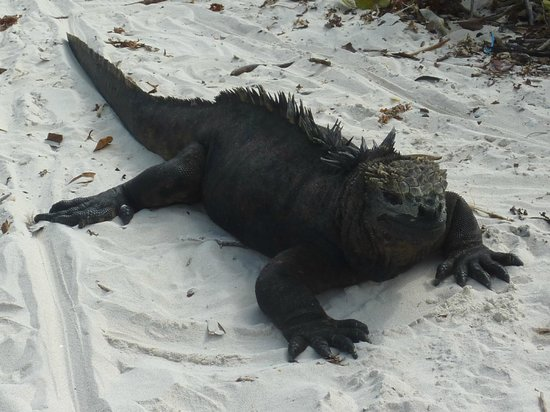 Galapagos Beach at Tortuga Bay: iguane marine