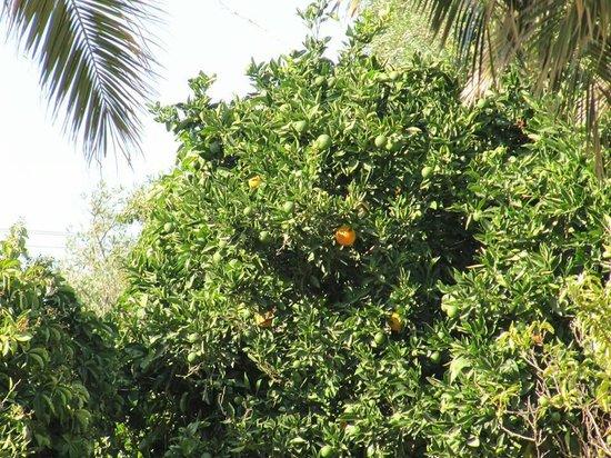 Casa Maria Apartments: Apelsinträd just utanför våran balkong :)
