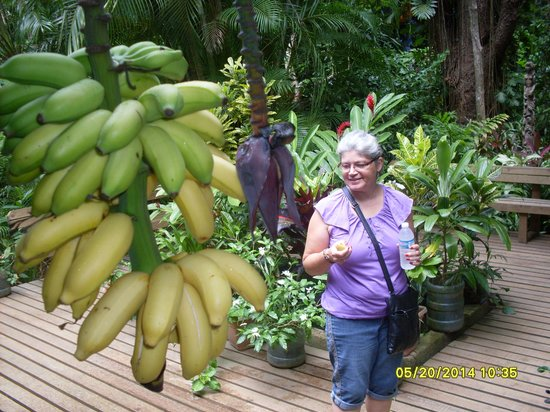 Carambola Botanical Gardens & Trails: Apple bananas