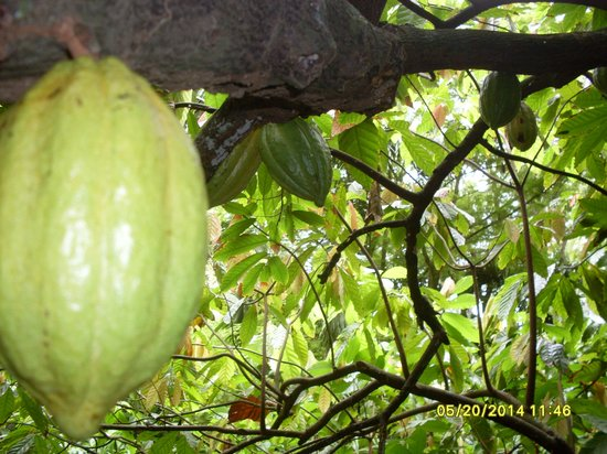 Carambola Botanical Gardens & Trails: cocoa seed pods