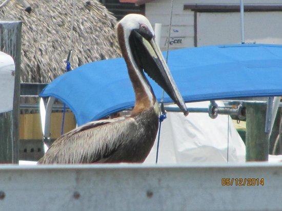 Little Bar Restaurant: pelicans