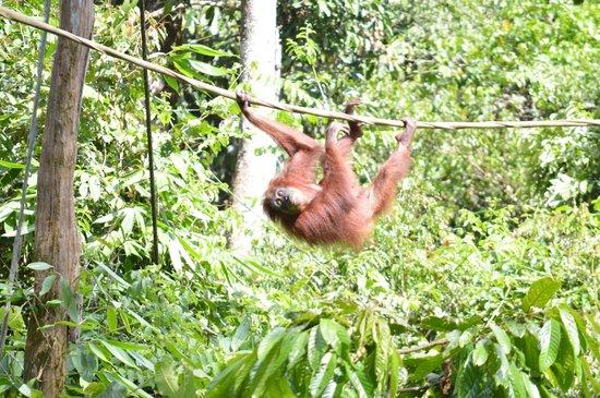 Sepilok Orangutan Sanctuary : One of the stars