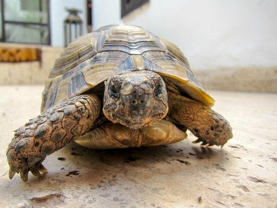P'tit Habibi: Shoukran the turtle