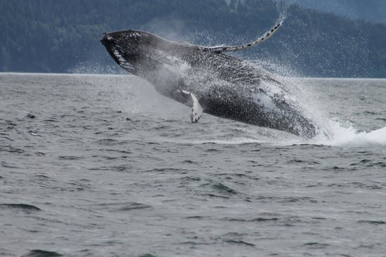 Five Star Whale Watching: Humpback breeching