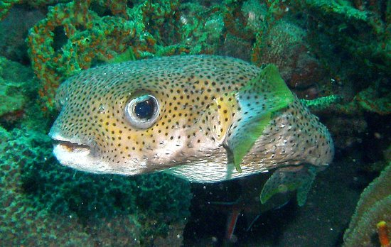 Dive St. Kitts: Porcupine puffer