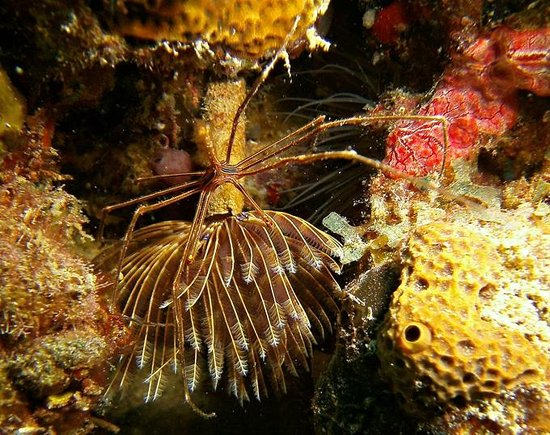 Dive St. Kitts: Arrow head crab on tube worm