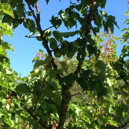 Les Chênes Verts : La production fruitière s'annonce bien