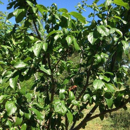 Les Chênes Verts : nos arbres fruitiers