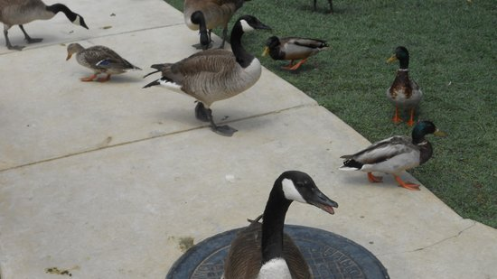 Econo Lodge Riverside : Geese and ducks always entertained