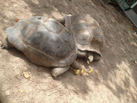 Gumption's Tours BVI: tortoises on Necker island