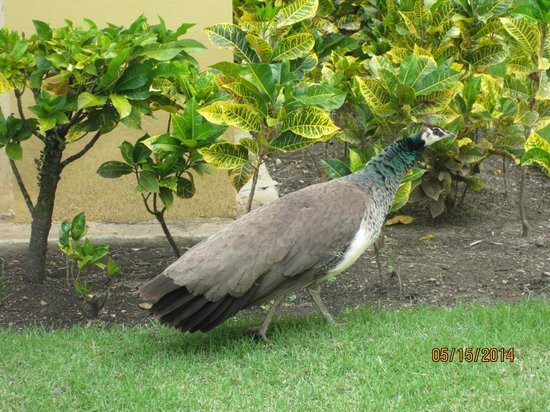 Iberostar Costa Dorada : Peacock that woke me up every morning
