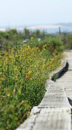 Elfin Forest Preserve: Deerweed in bloom along the boardwalk.