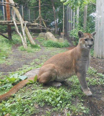 north carolina cougar