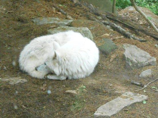 Western North Carolina Nature Center : Albino wolf
