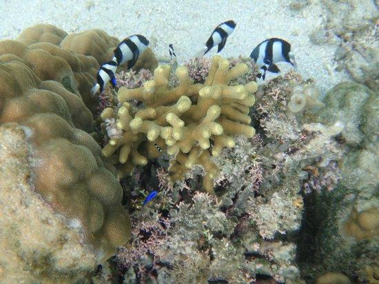 Fiji Hideaway Resort & Spa: snorkelling