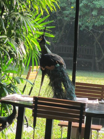 Belmond Governor's Residence : peacock making itself at home on a breakfast table