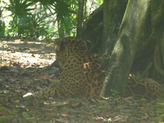Xcaret Eco Theme Park: jaguar