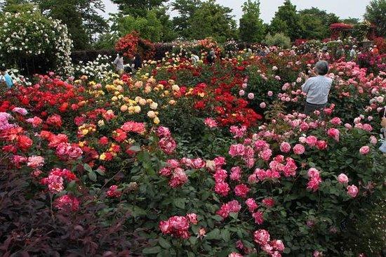 Kana Garden: 薔薇の轍