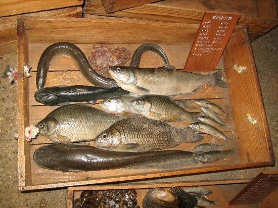 Lake Biwa Museum: 琵琶湖夏の魚