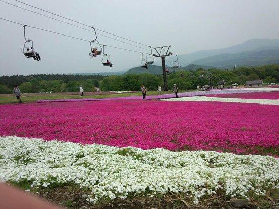 Kurohime Highland: 満開の芝桜