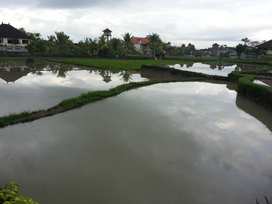 Sri Bungalows: Paddy fields (just beyond the swimming pool)