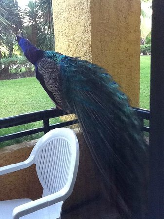 Iberostar Tucan Hotel: Our visitor wanted attention!