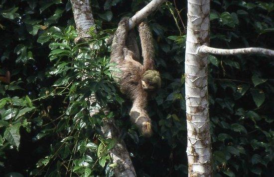 Caribbean Paradise Eco-Lodge: perezoso