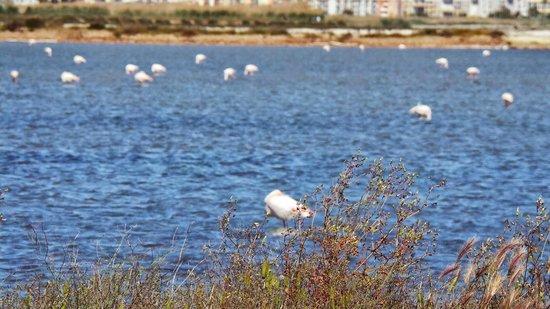 Parco Regionale Naturale Molentargius-Saline : Fenicotteri nello stagno