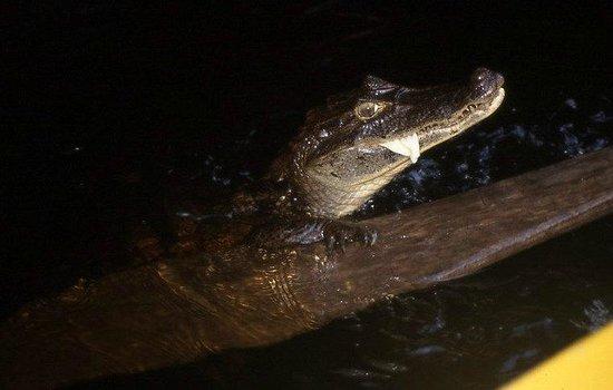 Caribbean Paradise Eco-Lodge: cocodrilo