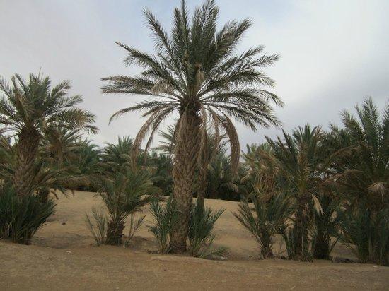 Camels House: palmeraie