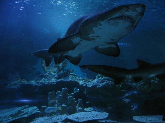 Aquaria KLCC: Sand bull shark