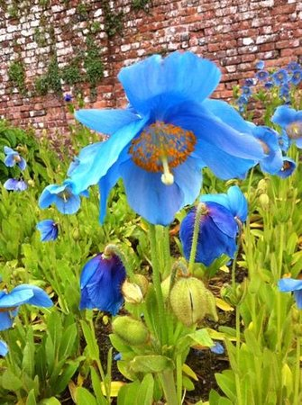 Cally Gardens: meconopsis in full bloom