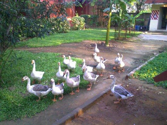 Mamalla Beach Resort : Enjoy the Beauty of The Ducks' Movement in the Resort