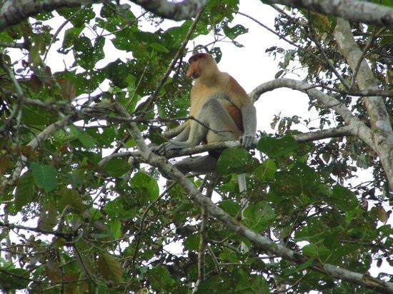 Nature Lodge Kinabatangan: Scimmia Nasica