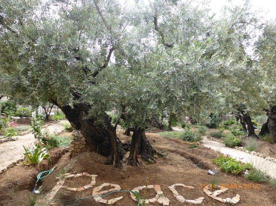 Garden of Gethsemane: Olive trees